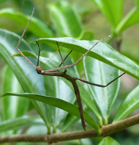 Stick Insect, Phassmatodea, Costa Rica