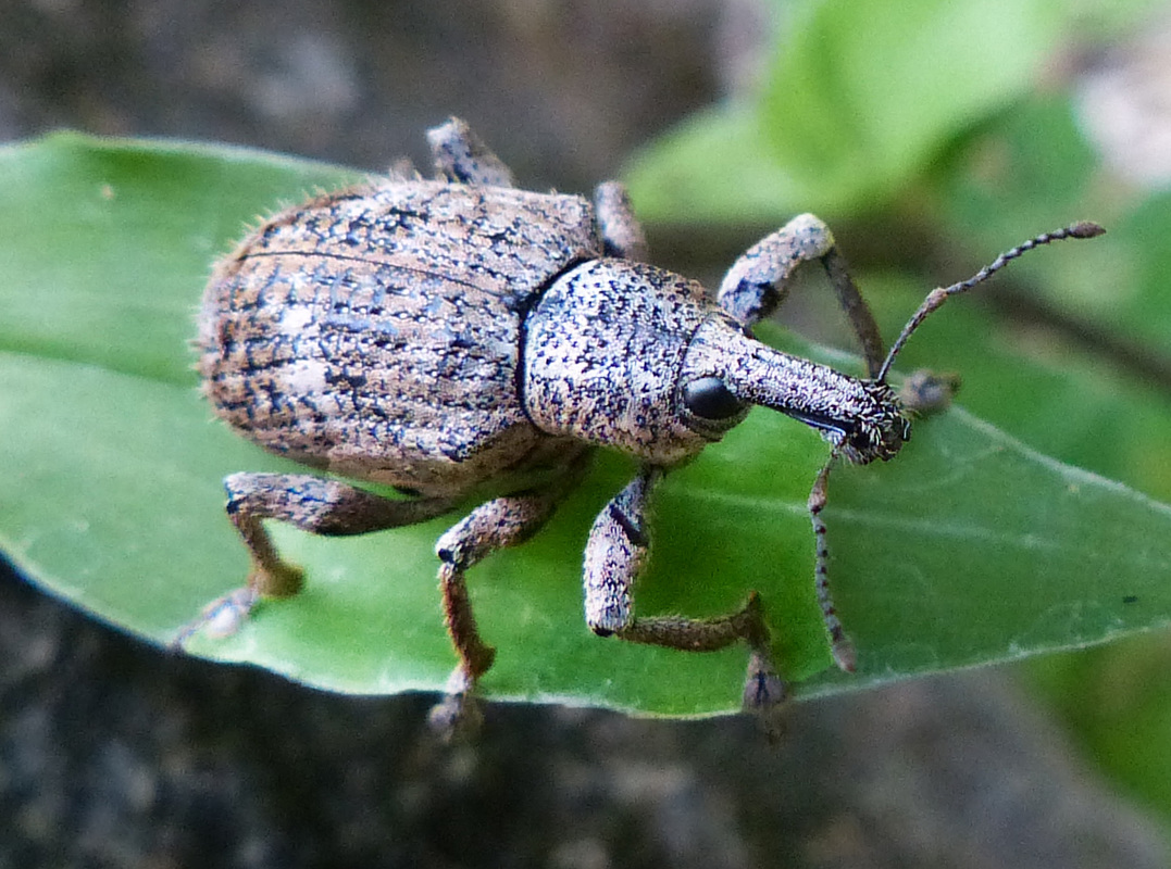 Weevil (Cholis cinctus)