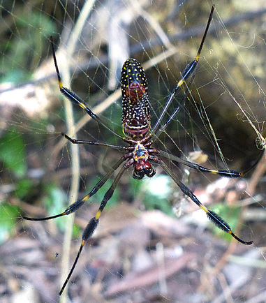 Golden 0rb-weaver (Nephila clavipes)