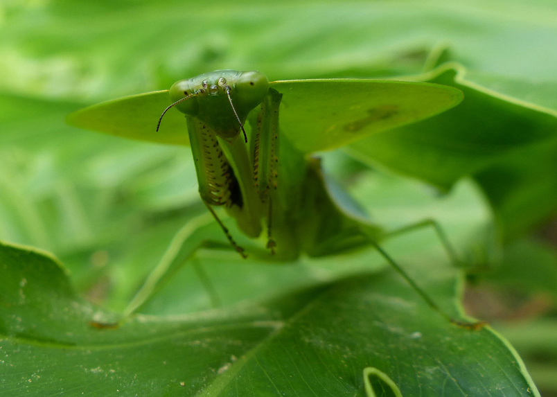 Hooded Mantis (Choeradodis), Costa Rica