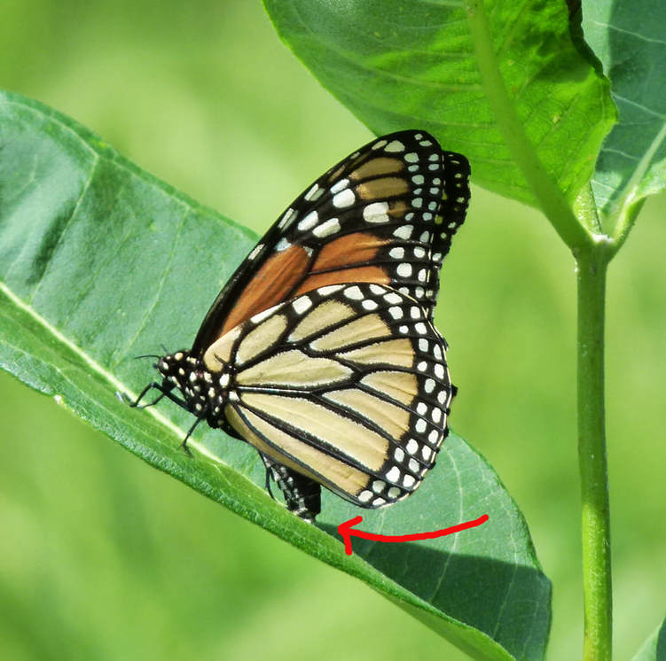 Monarch butterfly laying egg