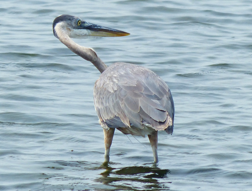 Great Blue Heron, South Padre Island, TX