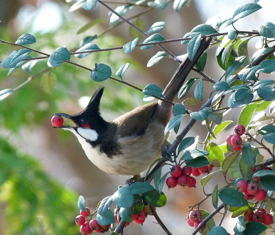 Red-whiskered Bulbul, Los Angeles, CA