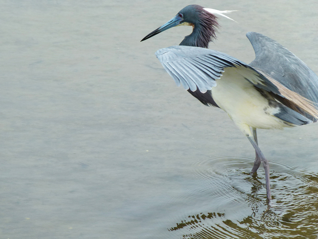 Tricolor Heron, South Padre Island, TX
